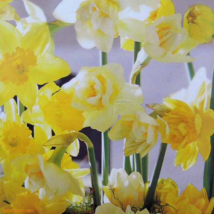 Fruehling-Blumen-Deko-Narzissen-bevonboch